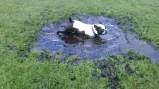Jersey The French Bulldog Having A Mud Bath