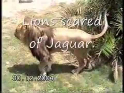 Jaguar vs two lions, Lion Run, and are scared of Jaguars Roar thumbnail