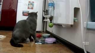 Учим кота самому себе накладывать еду. Learn the cat itself impose food