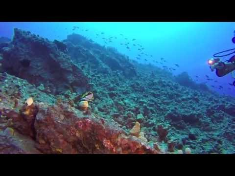 The Rare Tinker's Butterfly Fish (Chaetodin Tinker)