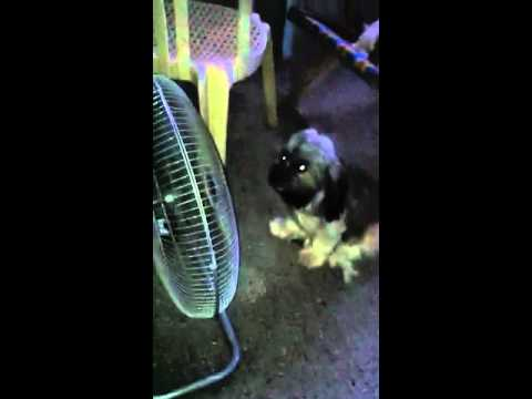Momoy The Electric Fan Dog