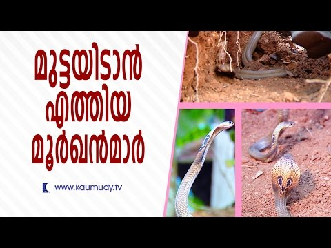 Cobras came for laying eggs | Snake Master | Kaumudy TV