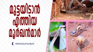 Cobras came for laying eggs | Snake Master | Kaumudy TV thumbnail