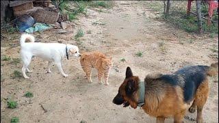 Cat Fight Dogs