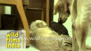 Best Friends Forever - Gun-dog Kissing Partridge
