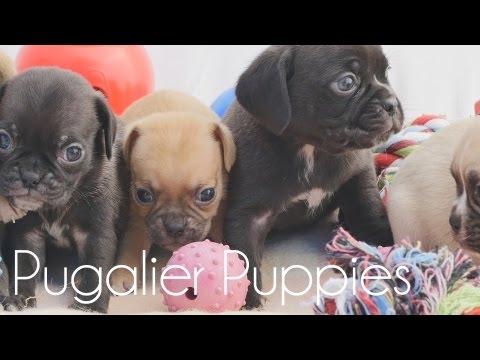 Pugaliers Puppies lazing around!!!
