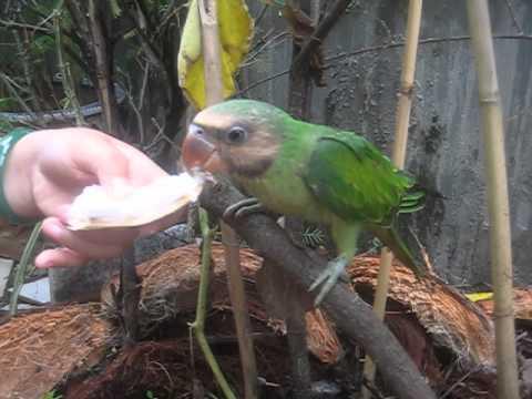 vet ngực hồng ăn dừa