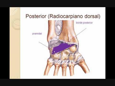 tienen articulaciones los dedos de la mano y de los pies