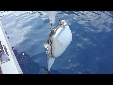 Palamutu yiyen dev Balon balığı nasıl oltaya yakalandı AV marketi