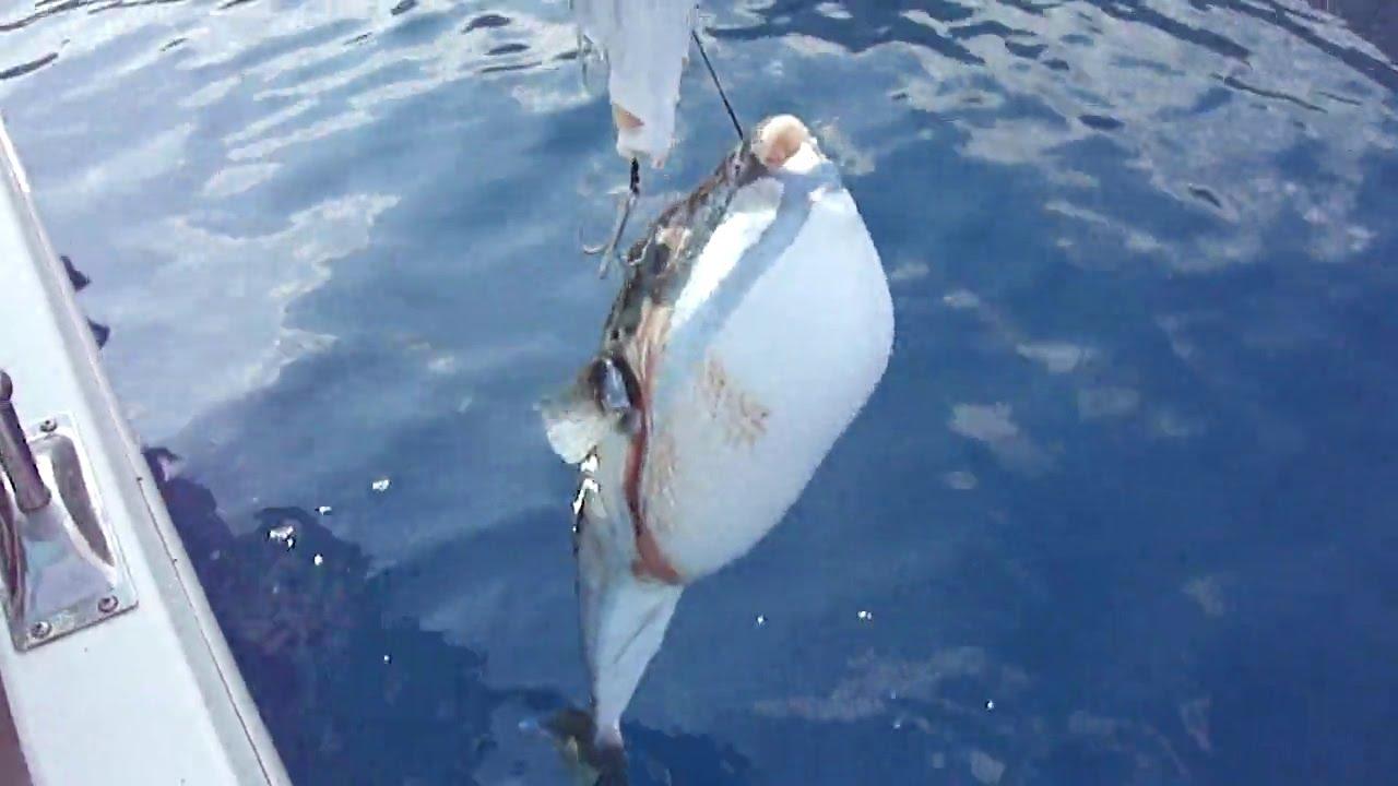 balon balığı yenirmi ile ilgili görsel sonucu