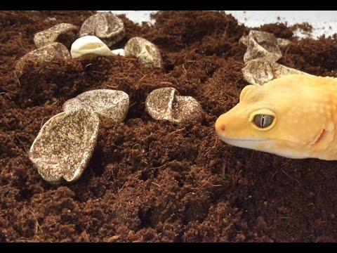 How To Incubate Leopard Gecko Eggs Youtube
