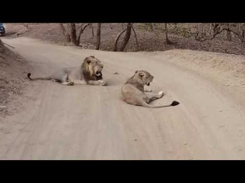 Best show of the asiatic lion in Gir Wildlife Sanctuary