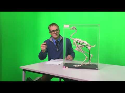 Bird Skeleton Basics