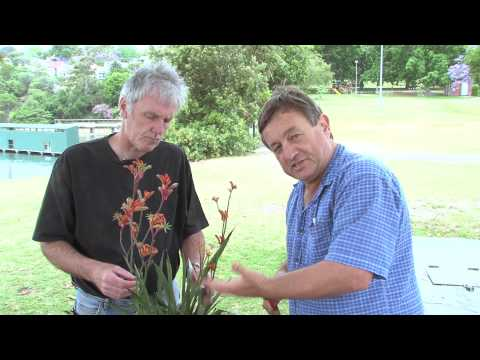 Angus and John talk Kangaroo Paw 'Rampaging Roy Slaven' and ASPECT