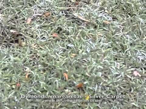 Dymondia margaretae - Silver Carpet - YouTube