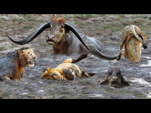 Fierce Battle Of Buffalo vs Lions - Mother Buffalo Attacks Lion To Protect Life Of Baby Buffalo