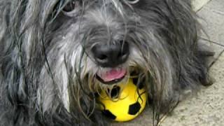 ラサアプソのダンディはボールが大好き。! 近づいてとろうとすると唸っ...