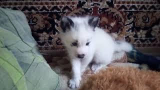 Домашние лисы: Основные сложности содержания
