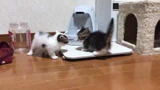 世界一短いケンカをする子猫が超かわいい