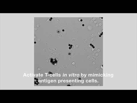 Unique Time-lapse Video of Dynabeads Activating T-Cells