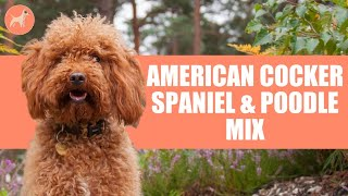Cockapoo (American Cocker Spaniel & Poodle Mix): A Complete Dog Breed Guide