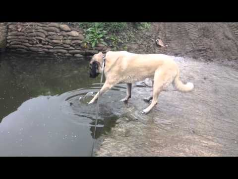 Anatolian shepherd solves problem!