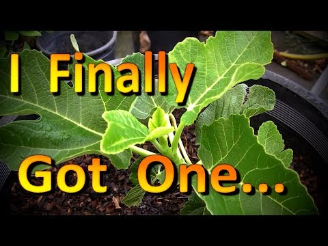 Black Madeira KK Fig Tree Unboxing and a Tour of My Humble Fig Collection