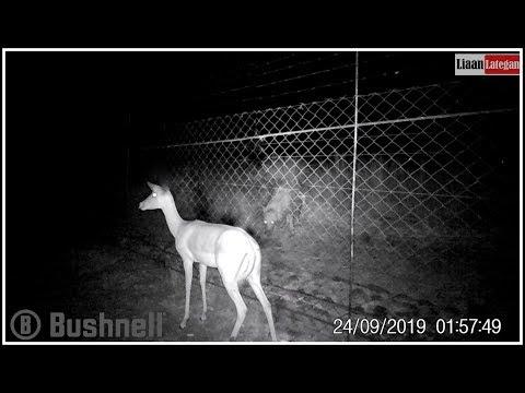 A lost Impala & a curious Hyena
