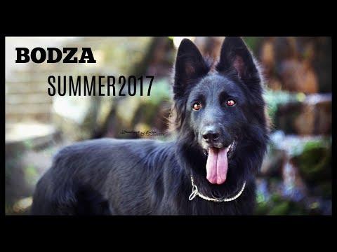 Amazing dog tricks BODZA the german shepherd SUMMER2017