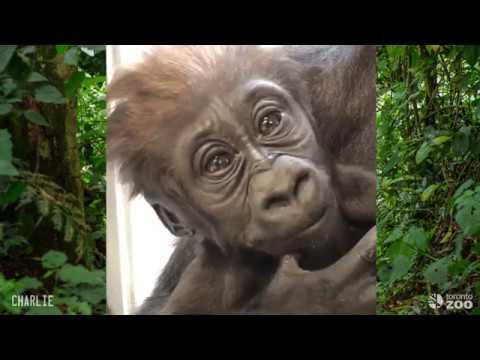 Toronto Zoo- Gorilla Personalities