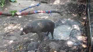Babirusa Wallows in the Mud