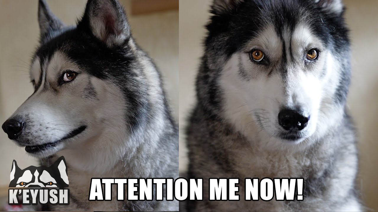 How My Husky Demands My Attention! Not Subtle!