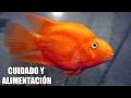 EL PEZ PERICO | ALIMENTACION Y CUIDADOS DEL PEZ PERICO | AcuariosLP