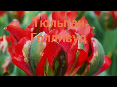Тюльпан обыкновенный Голливуд (tyulpan-gollivud) �� обзор: как сажать, луковицы тюльпаны Голливуд