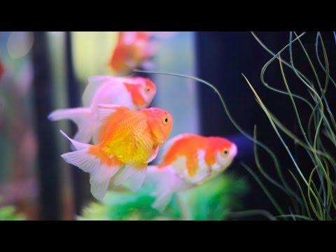 How To Keep Koi Fish   Aquarium Care