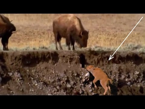 Wildebeest migration Baby Bison with his mother since birth the Amazing scene