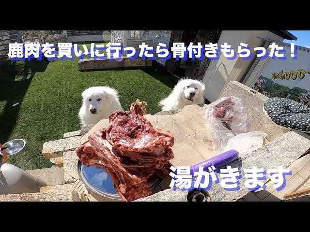 骨付きの鹿肉を食べるグレートピレニーズ
