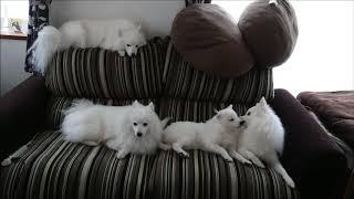 4兄妹にソファーを占領されてしまうので人間は座れない   Instagram ht...