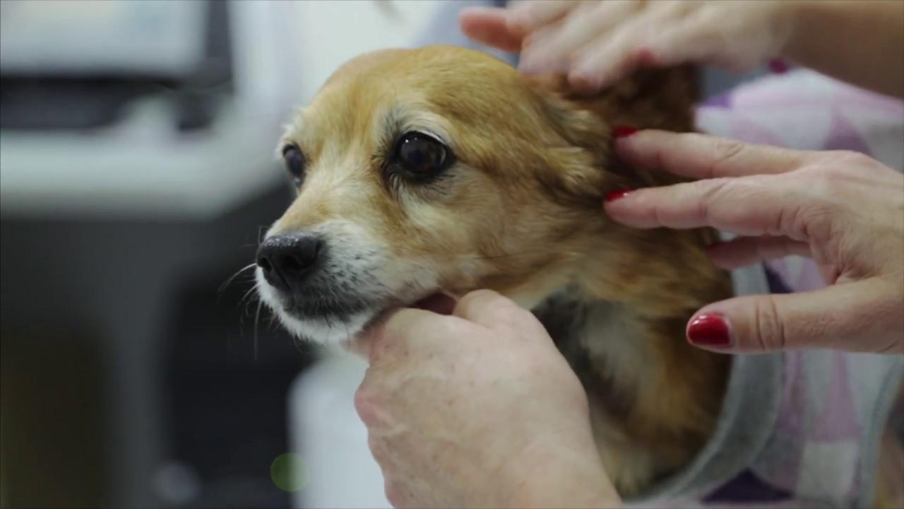 castración de próstata de perro