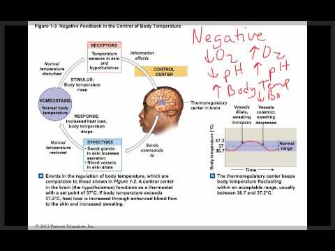 Ch 1 Homeostasis Negative Feedback And Positive Feedback4 Youtube