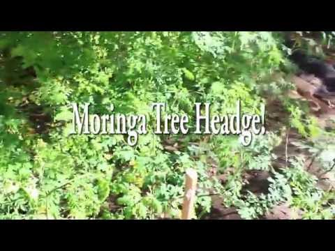 Growing Moringa in a Hedge Produces More Leaf Stock!