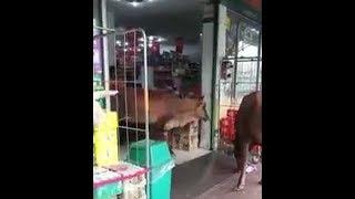 Lembu pun nak beli barang