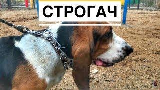 Серьёзная собака с мощным ошейником