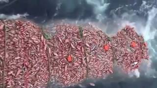 Màn đánh bắt cá trên biển lớn nhất - Hàng vạn con cá