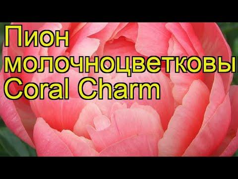 Пион молочноцветковый Coral Charm. Краткий обзор, описание характеристик, где купить саженцы