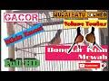 Viral Murai Batu Borneo Gacor Bongkar Isian Bikin Emosi Full Hd  Mp3 - Mp4 Download