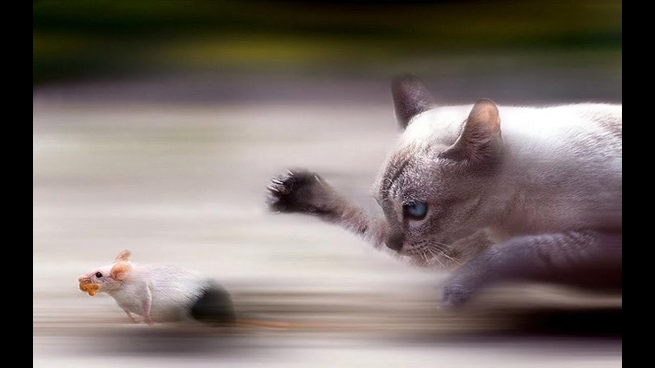 Кот гоняет мышей