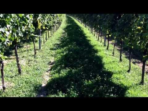 Gelber Muskateller Weingarten