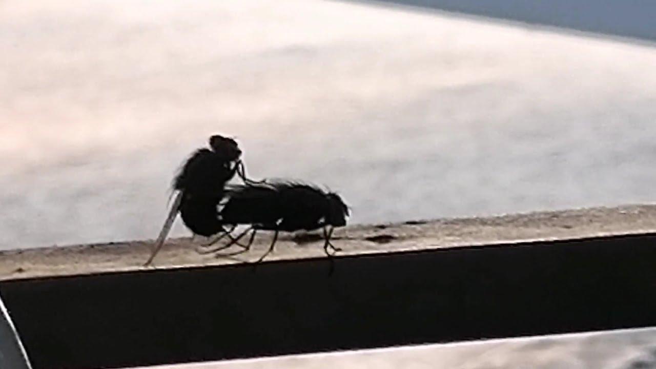 Fly Sex | live | Fliegen Sexualverkehr | Berlin