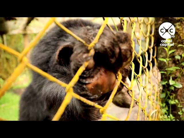 El oso de anteojos, guardián del agua de los bogotanos